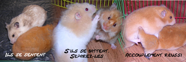 hamster enceinte signe - Teamdemisecom