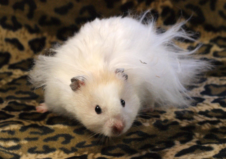 Syriens types de poils hamster 39 op dia - Hamster russe panda ...