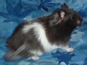 Syrien bande blanche hamster 39 op dia - Hamster russe panda ...
