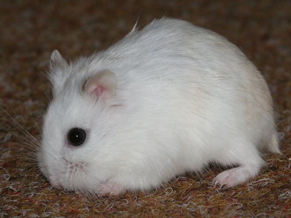 Hamster de Roborovski perle image