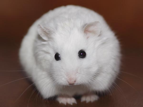 pages le hamster tout sur l alimentation de l hamster nain russe.
